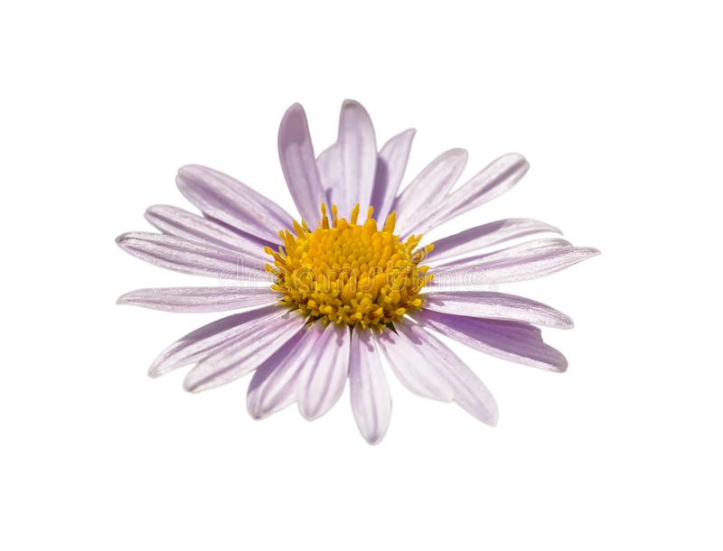 Light pink daisy flower macro on white royalty free stock photography