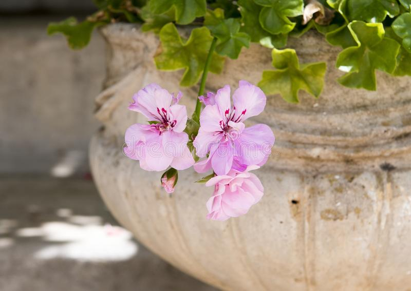 Light pink Geranium blooms in a pot, Southern Italy. Pictured are light pink geranium blooms and buds in a decorative pot in southern Italy. Geranium is a genus stock photography