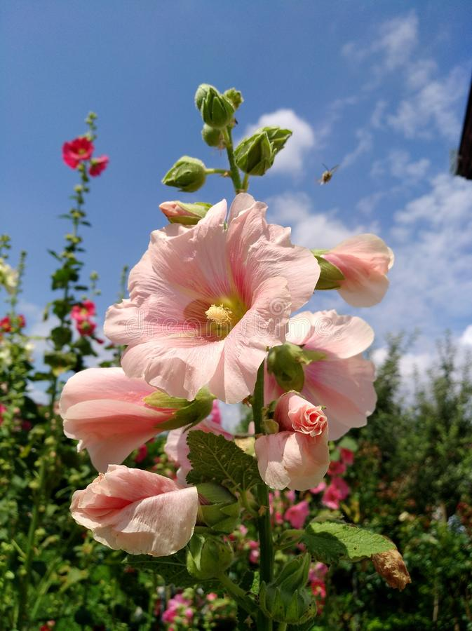 Light pink Hollyhock in the garden. Alcea rosea. A bee flies over. Light pink mallow in the sun royalty free stock photo