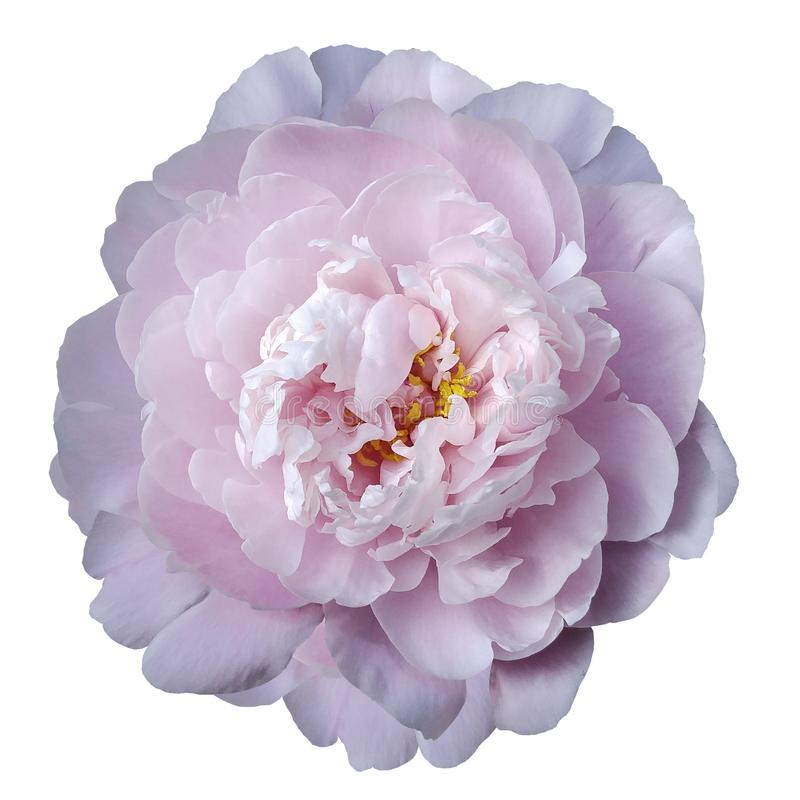 Light Pink peony flower with yellow stamens on an isolated white background with clipping path. Closeup no shadows. For design. Nature stock photo