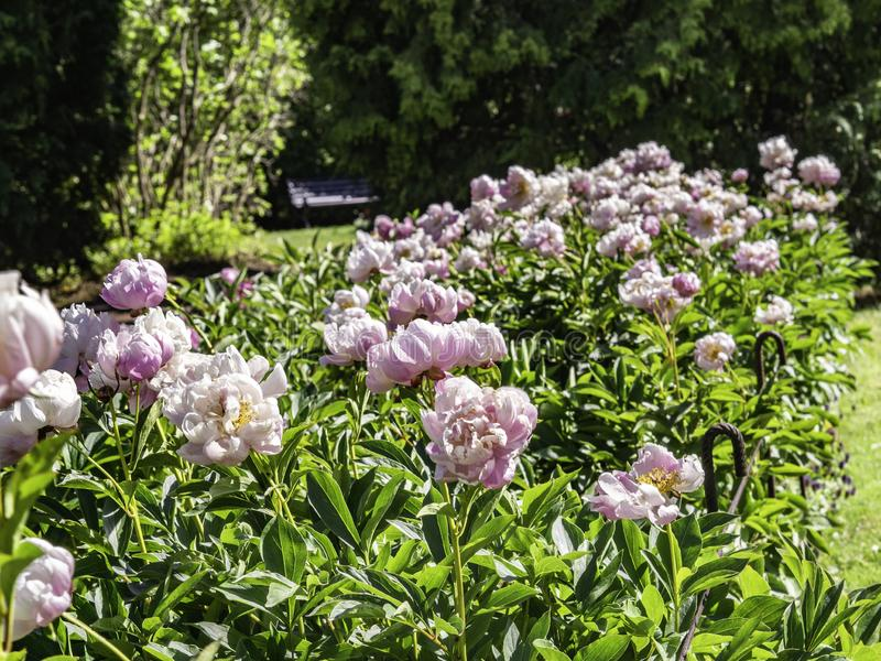 Light pink peony flowers blooming stock photo