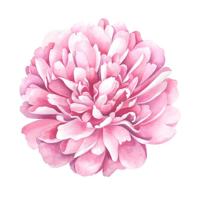 Light pink peony isolated on white background. Watercolor illustration. stock illustration
