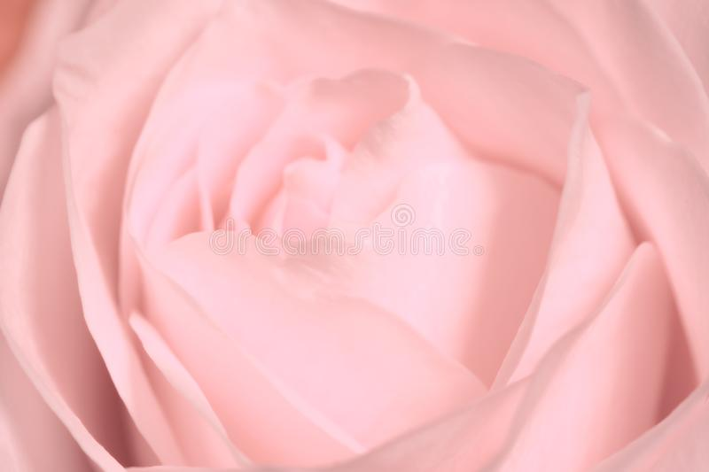 Light pink rose close up of a blooming flower - Floral macro photography concept background stock images