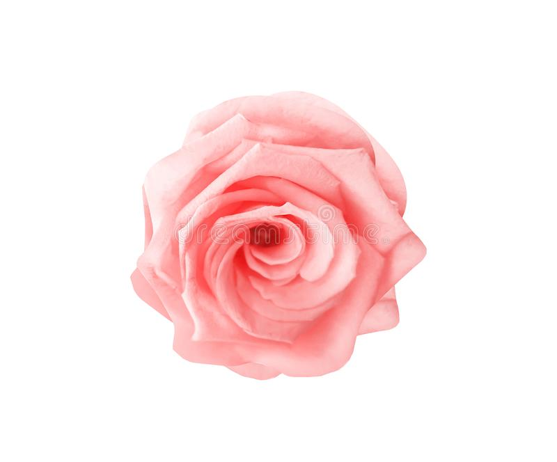 Light pink rose flowers patterns colorful petal top view isolated on white background and clipping path royalty free stock photo