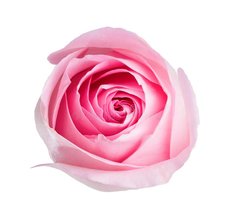 Light pink rose isolated on white background stock photos