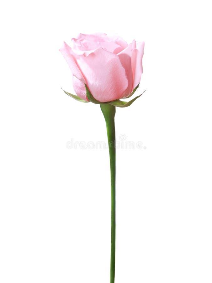 Light pink rose. stock photos