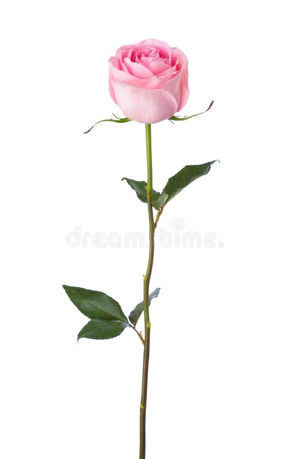 Light pink rose isolated on white background stock images