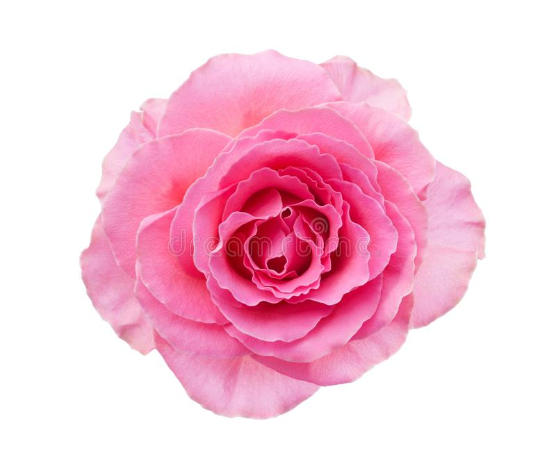 Light pink rose isolated on white background royalty free stock images