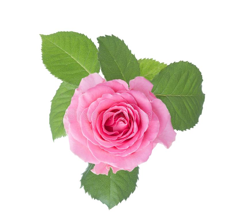 Light pink rose with leaves isolated on white background royalty free stock photo