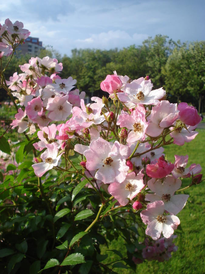 Light pink roses after rain royalty free stock photography