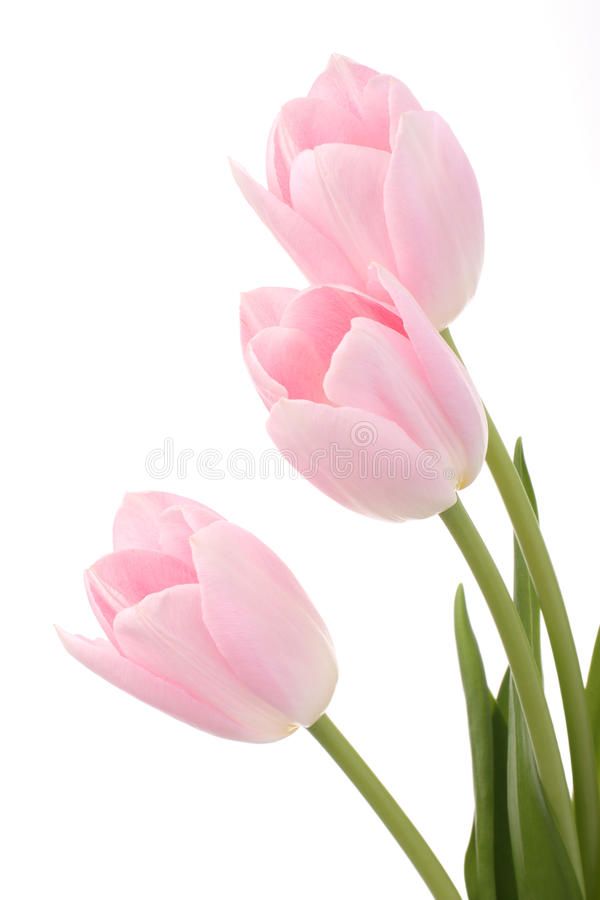 Download Light pink tulips stock image. Image of delicate, april - 22390871