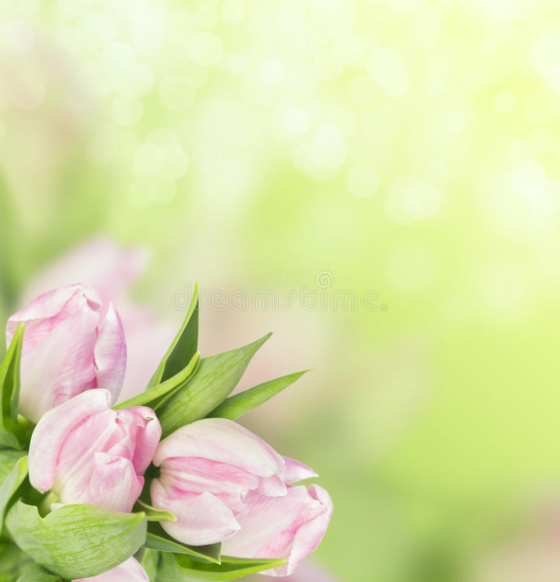 Light pink tulips on spring green background royalty free stock photos