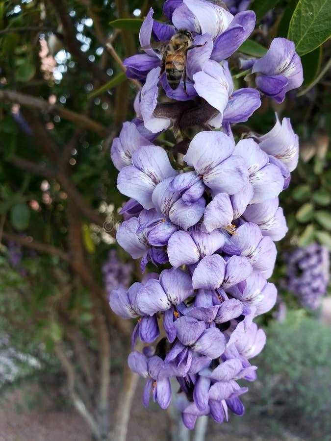 Light purple dermatophyllum flower in a garden in spring season stock images