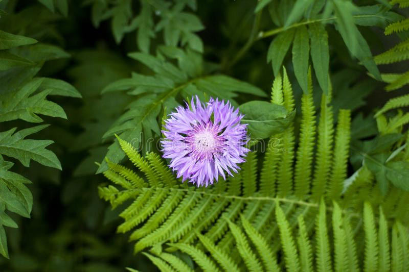 A light purple flower sprouted between the green leaves of the fern and another flower royalty free stock photo