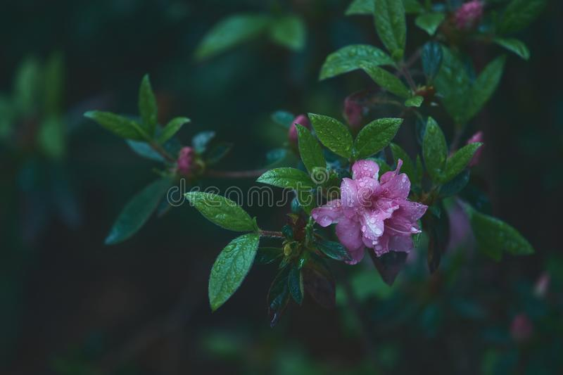 A light purple flower after the summer rain royalty free stock photography