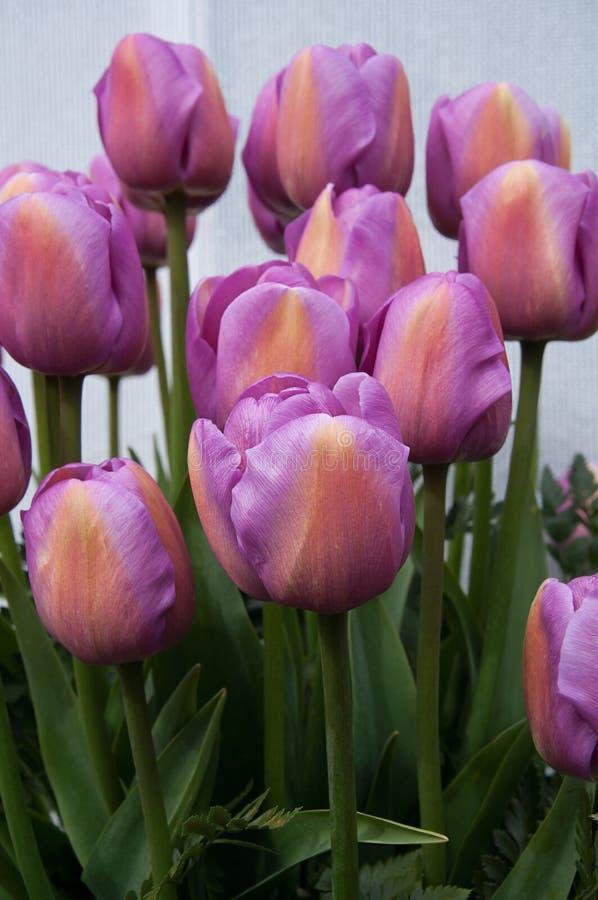 Light Purple Tulips spring flowers stock photo