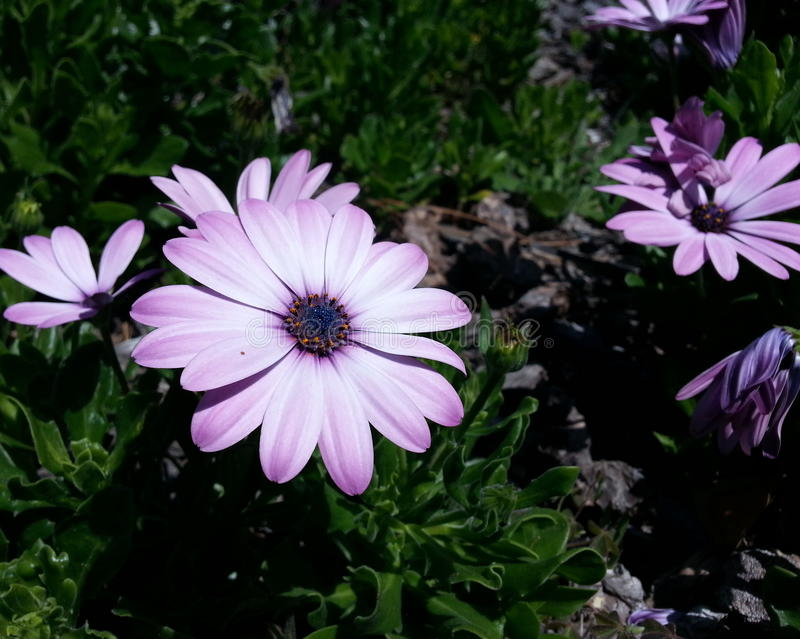 Light Purple and White Petaled Flower. With Blue Center stock images