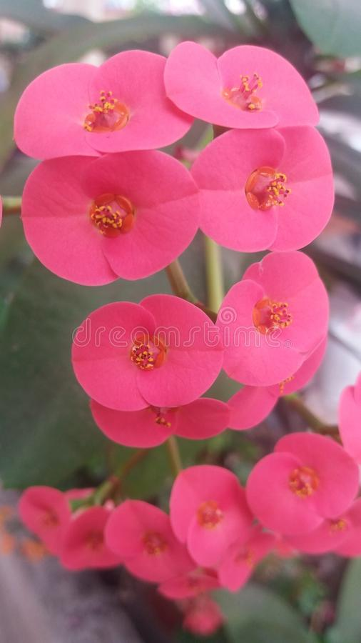 Light red flowers of my garden royalty free stock photography