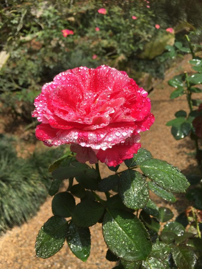 Light red rose/pink rose flower with water drops in the garden. Beauty flower blooming in the garden stock image