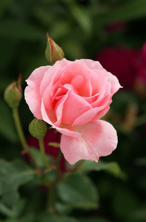 Free Light Rose Royalty Free Stock Photos - 5039808