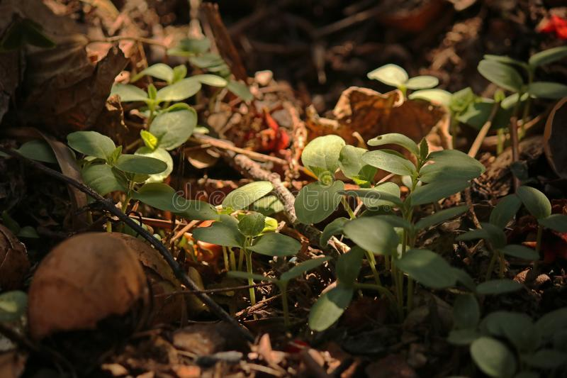 LIGHT ON SEEDLINGS SPROUTING ON COMPOST HEAP. Image of tender young green seedlings sprouting on a compost heap in a garden stock photography