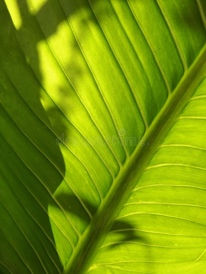 Light and shadow through green leaf stock photo