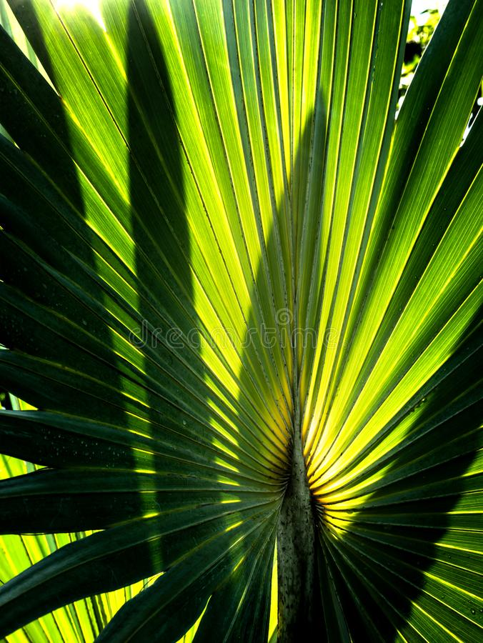 Light and Shadow of Sugar Palm Leaf. The Light and Shadow of Sugar Palm Leaf in The Garden royalty free stock photography