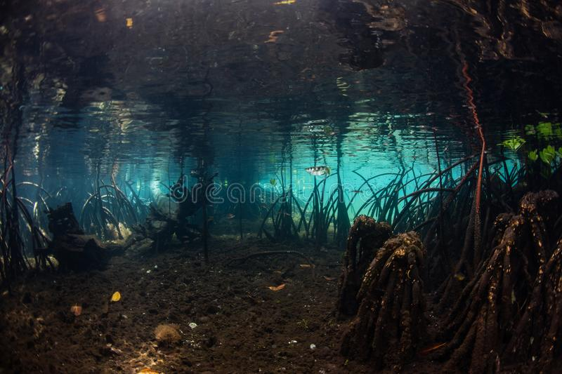 Light and Shadows in Raja Ampat Mangrove Forest. Beams of sunlight filter into a dark, blue water mangrove forest in Raja Ampat, Indonesia. Mangroves serve as stock image