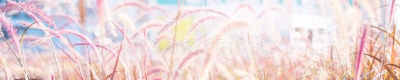 Light through summer grass bokeh Natural background. Morning light through summer gentle, fluffy, pink grass bokeh Natural background green yellow colors. Banner stock photography