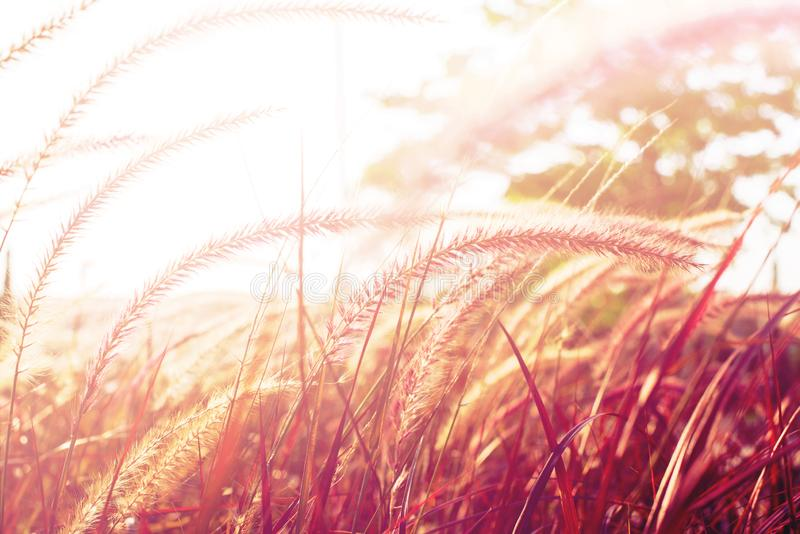 Light through summer grass bokeh Natural background. Morning light through summer gentle, fluffy, pink grass bokeh Natural background green yellow colors. Nature royalty free stock images