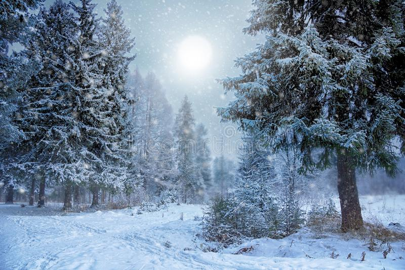 Light of the sun in the winter fairy evening spruce forest. snow-covered spruce trees. Ray of sunlight. winter landscape royalty free stock image