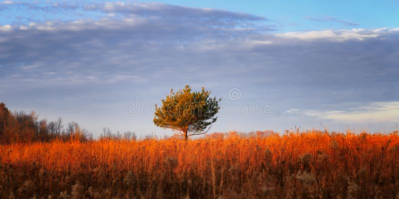 Red tree on a red field at sunset royalty free stock images