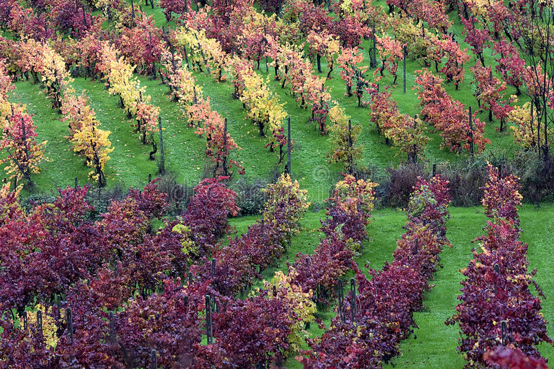 The light in the vineyard. Colors of autumn vineyards in the Scuropasso Valley, Rocca de Giorgi, Oltrepo Pavese, Pavia, Italy stock images