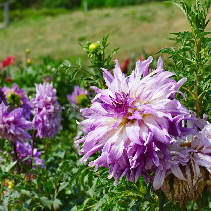 Light violet dahlia on flower bed at summer park. royalty free stock photos