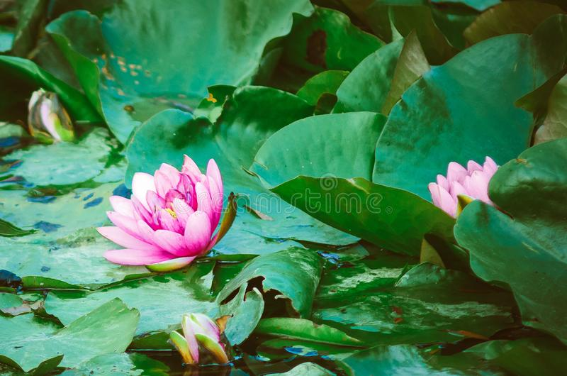 Light violet Lotus flower or Nymphaea nouchali or Nymphaea stellata is a water lily of genus Nymphaea. Close-up royalty free stock images