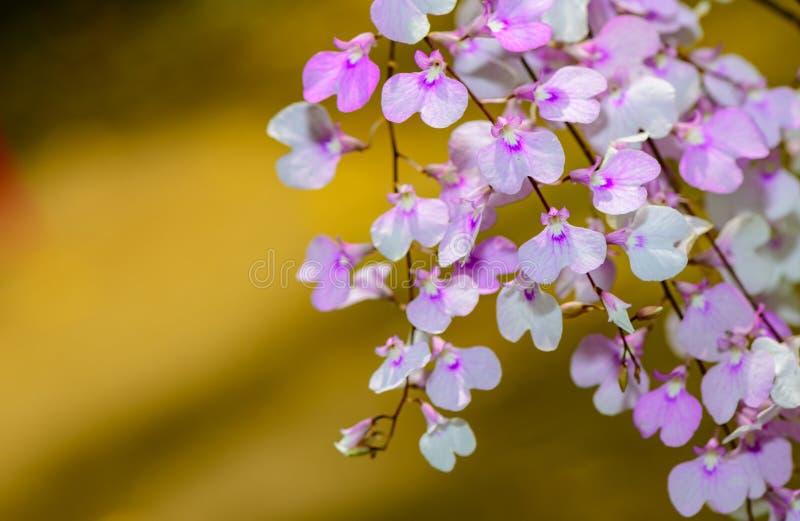 Light violet oncidium flower, Orchid stock image