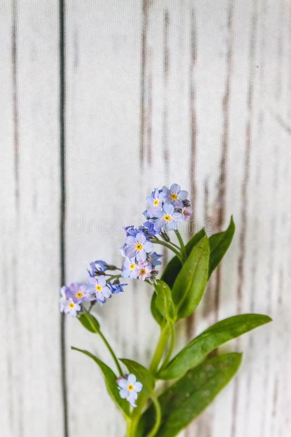 On a light white wooden background there is a blue flower forget-me-flower. Blur and close-up.  royalty free stock photos