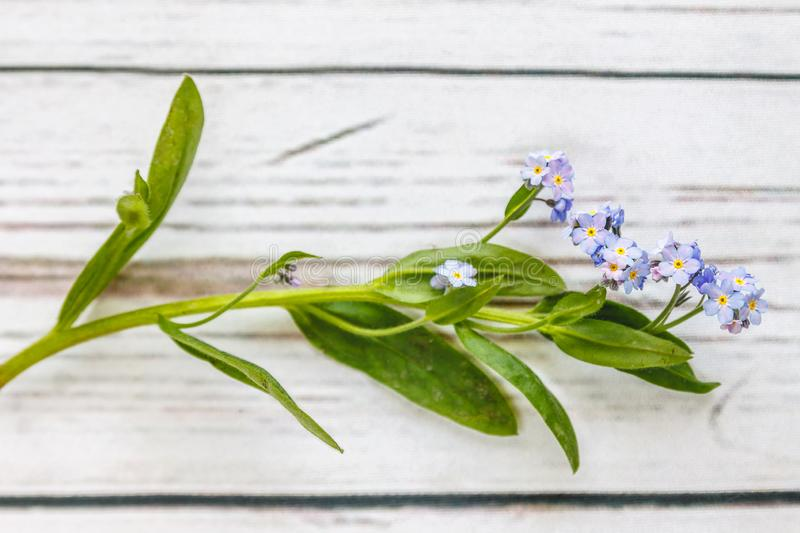 On a light white wooden background there is a blue flower forget-me-flower. Blur and close-up.  royalty free stock photo