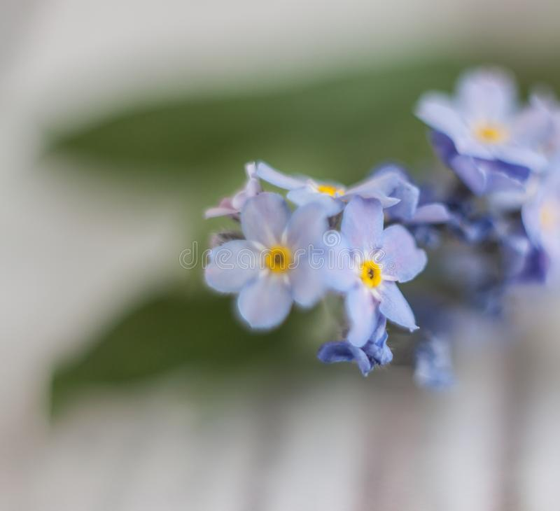 On a light white wooden background there is a blue flower forget-me-flower. Blur and close-up.  stock photo