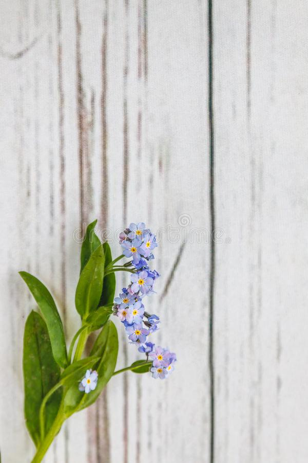 On a light white wooden background there is a blue flower forget-me-flower. Blur and close-up.  royalty free stock photography