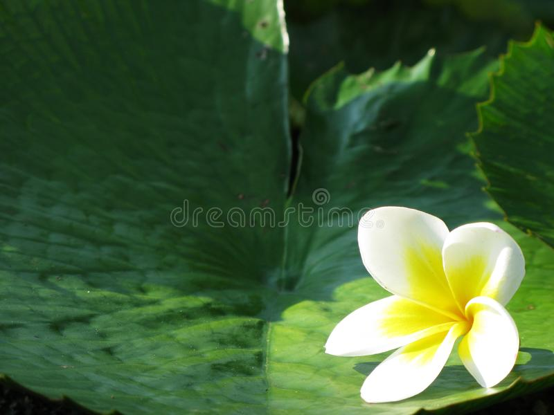 Light white and yellow flower for background. Light white and yellow flower with green leaf for background stock photography