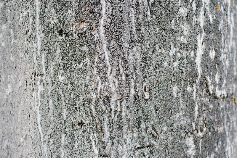Light wood tree bark closeup. Detail shot of a tree bark. Visible white grain on the wood royalty free stock photos