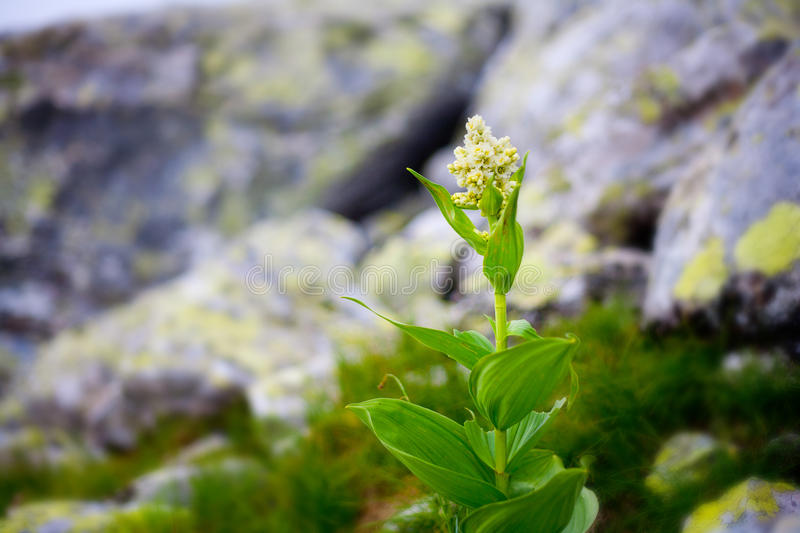 Light Yellow Alpine Flower Royalty Free Stock Images