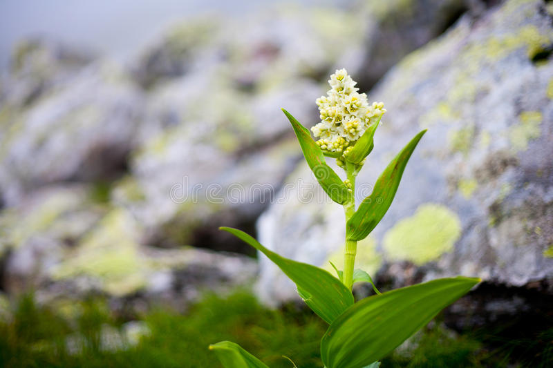 Light Yellow Alpine Flower Stock Image