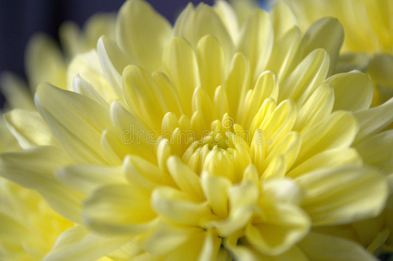 Light yellow chrysanthemum flower. Chrysanthemum - herbaceous perennials and annuals of the family Asteraceae or Compositae. Translated from the Greek meaning royalty free stock photography