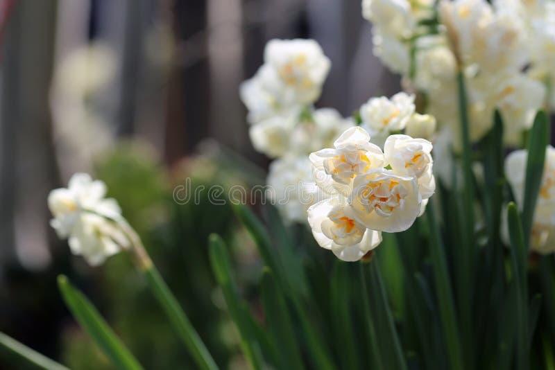 Light Yellow Half Opened King Daffodil / Double Narcissus Flowers. Light yellow half opened double narcissus / king daffodil flowers with green leaves. Perfect stock photo