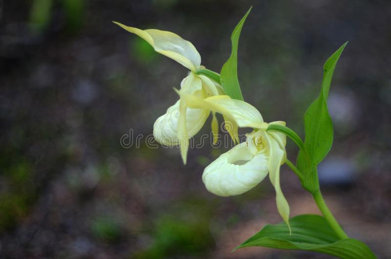 Light yellow lady`s slipper wild orchid royalty free stock image