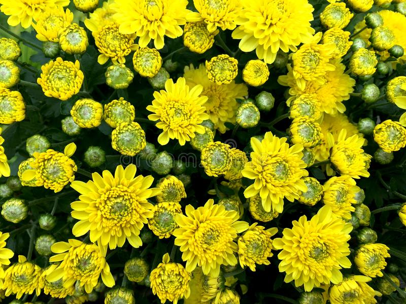 Light yellow mix green chrysanths flower blooming front view in the pot. stock photos