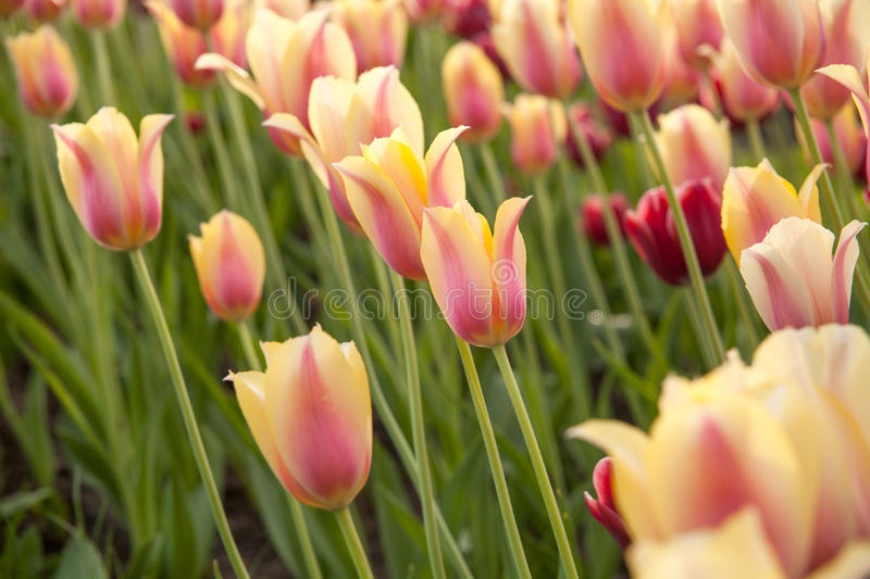 Light yellow and pink tulips on the green background. stock photography