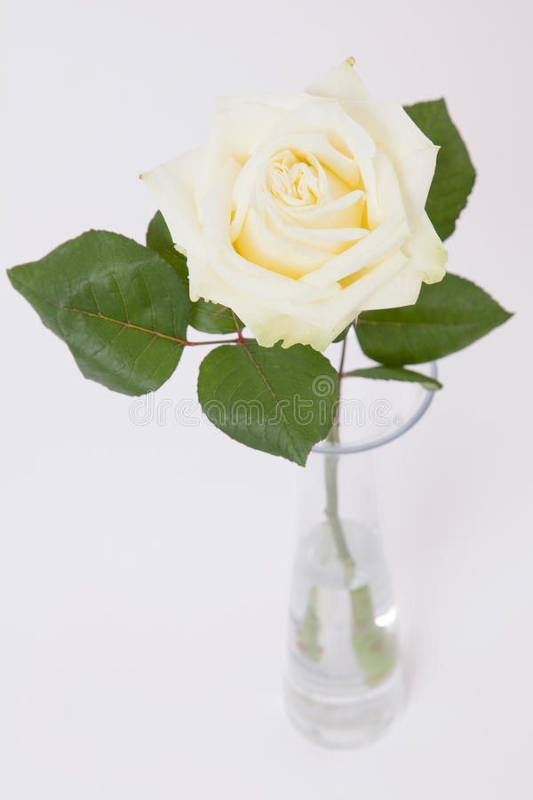 Light yellow rose in glass vase on white stock images